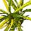 Thumbnail: Croton Gold Star Codiaeum Variegatum house plant - showstopper!