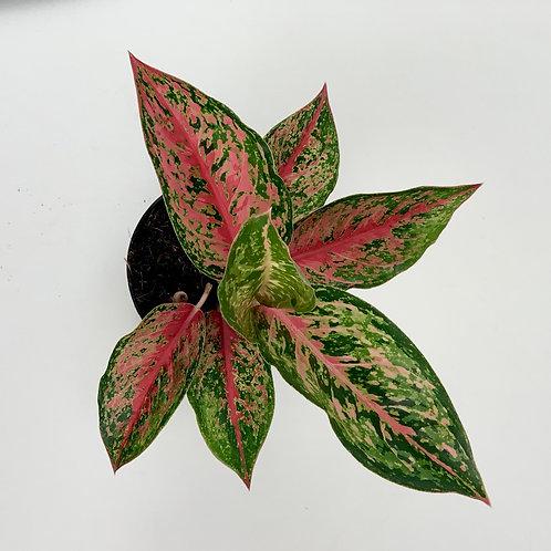 Chinese Evergreen Aglaonema - Paradise Red