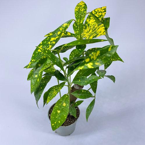 Croton Aucubifolium - Codiaeum variegatum 6cm pot Houseplant