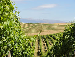 Vineyard Shots4.JPG