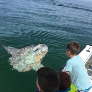 Mola Mola in Cape Cod Bay