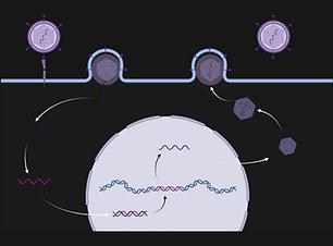 Generic Viral Life Cycle (3).png