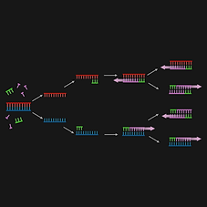 Polymerase Chain Reaction (PCR) (3).png