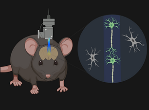 Optogenetics (Mini-microscope) (4).png