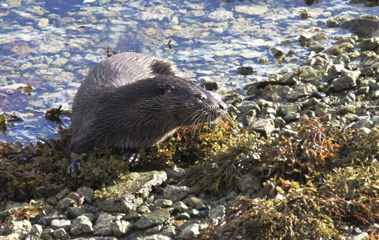 Otter on Sea Shore