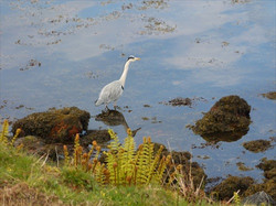Heron on shore