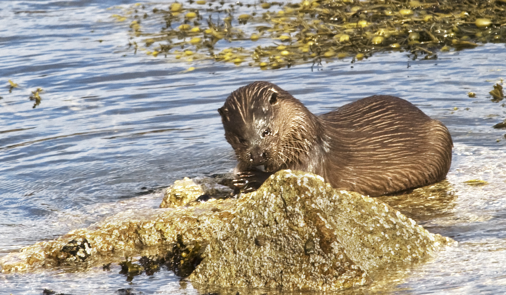 Otter on Sea Shore