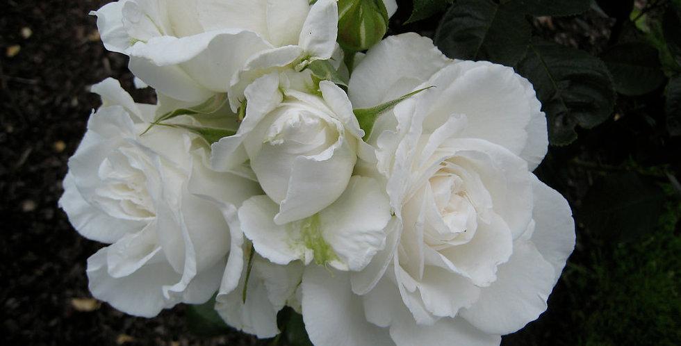 Rose Tree Maria Shriver