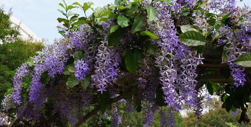 Sandpaper Vine (Queen's Wreath @ Purple Wreath)