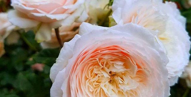 Rose Tree Hiyori