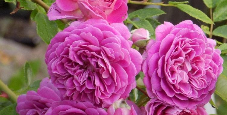 Rose Tree Starlet Melina