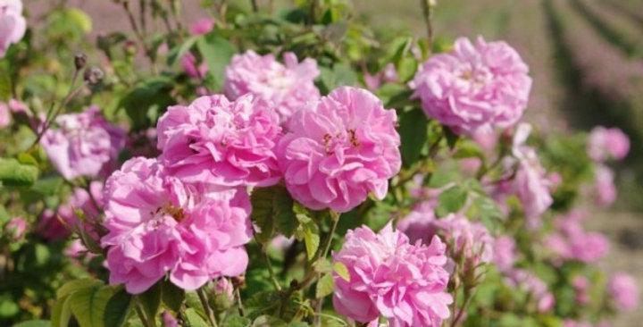 Damask Pink (Klaikongvon)