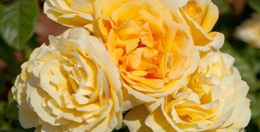 Yellow Mei Love