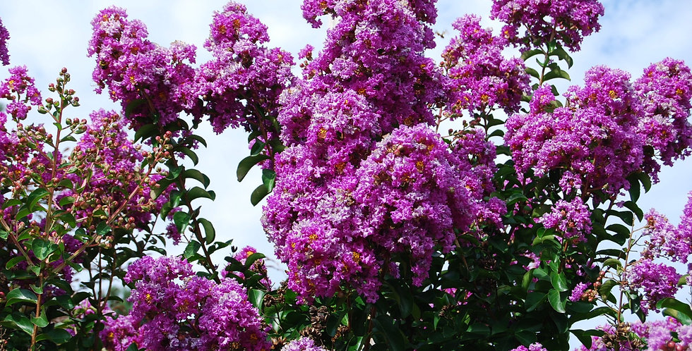 Lagerstroemia Indica (Purple)