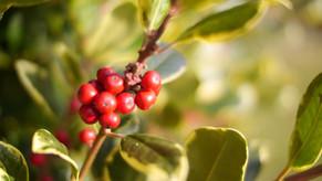 Battisborough Berries