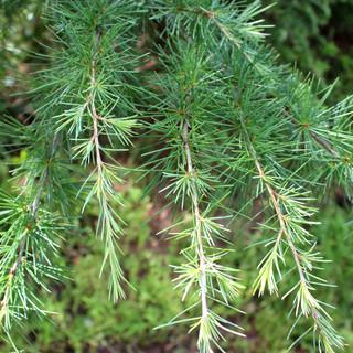 Golden Deodar Cedar