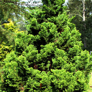 Green Hinoki Nana Compacta