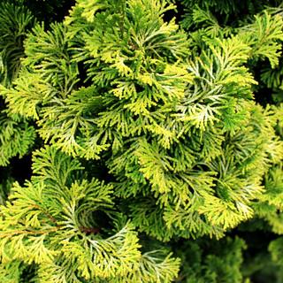 Golden Hinoki Lutea