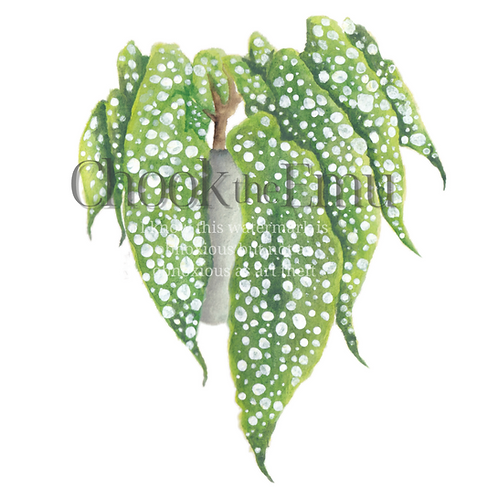 """""""Begonia Maculata"""" - Wall art print"""