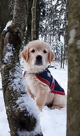 Golden Retriever puppy, 8 weeks, Vuorenrinteen kennel