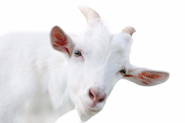 Healthy goat