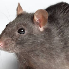 Rodent Exclusion Control