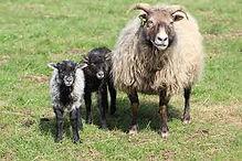 icelandic lamb pic.jpg