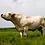 Thumbnail: Piedmontese Beef: Quarters, Halves, & Whole