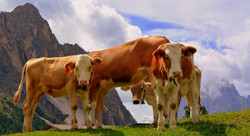 livestock, cows, net wrap, netwrap,