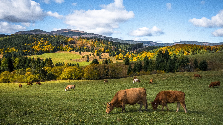 cows, livestock, net wrap, netwrap