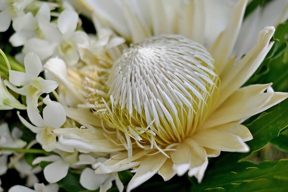 white king protea in Bali