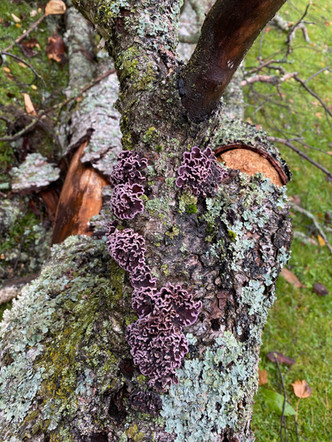 Råtesopper på trær