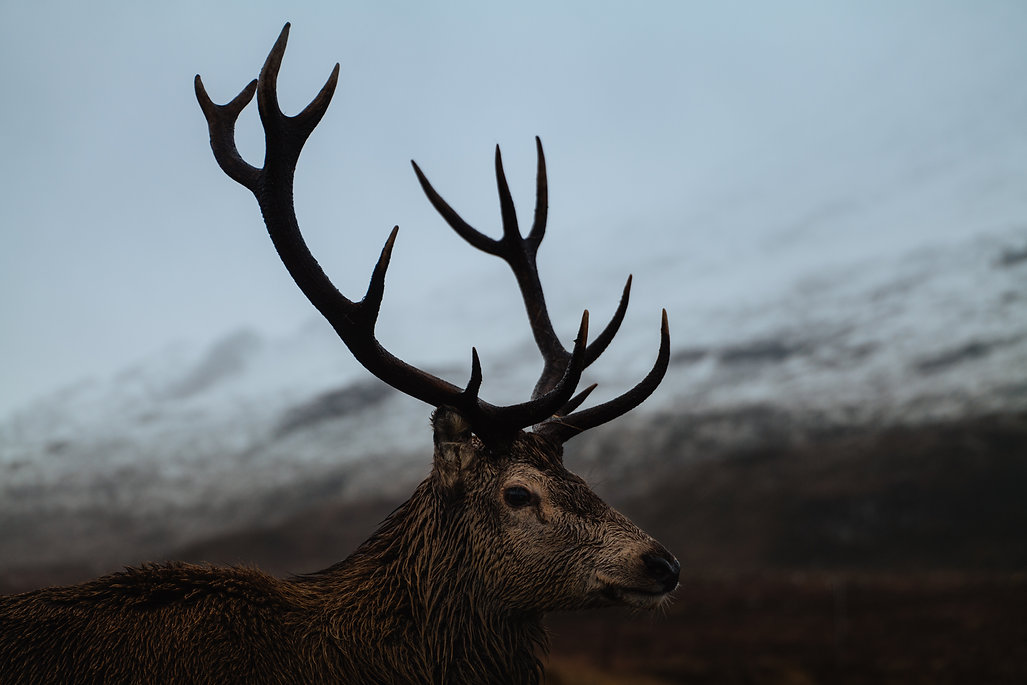 Stag with large antlers in Scotland