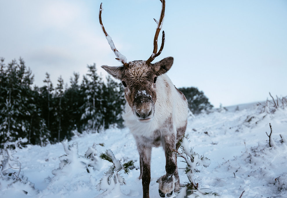 Close up photo of a reindeer in the snow.