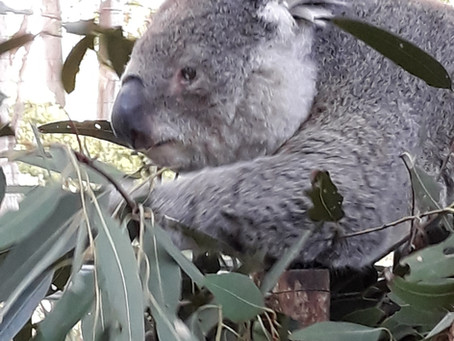 Community supported Koala Hospital
