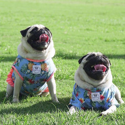 Happy Pugs enjoying their stylish Pugalicious clothes..