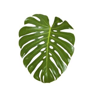 Monstera feuilles