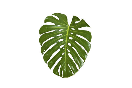 Monstera feuilles