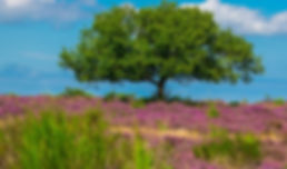 Hoorneboegse Heide - IGOP.jpg