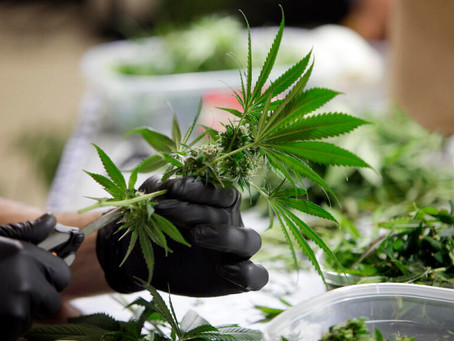They shouldn't force people to buy high-priced, over-taxed cannabis from dispensaries.