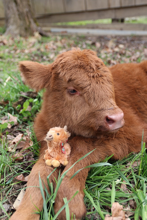 Mini Highland Cow Plush