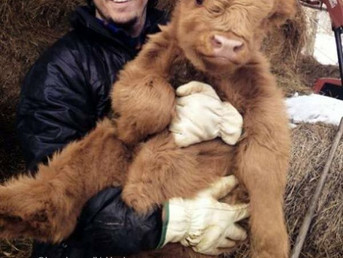Please read before contacting about a calf