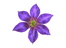 clematis flower_clear.png