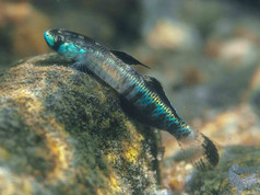 (Stiphodon percnopterygionus)