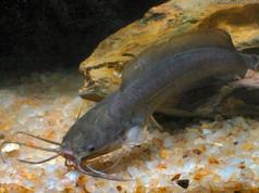 White-spotted Walking Catfish (Clarias fuscus)