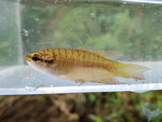 Hong Kong Paradise Fish (Macropodus hongkongensis)