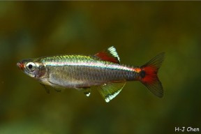 White Cloud Mountain Minnow (Tanichthys albonubes)