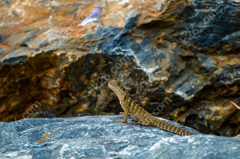 Lizard on rocks