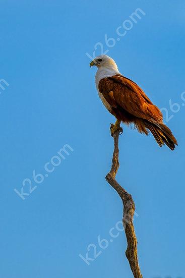 Brahminy Kite at sunset on a branch