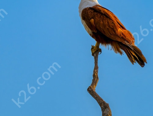 Brahminy Kite at sunset on a branch